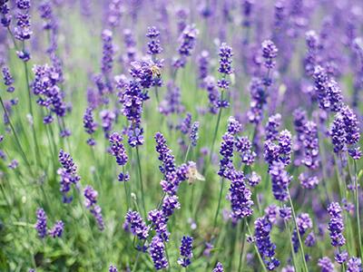 aromaticno-bilje-vrtnicentar