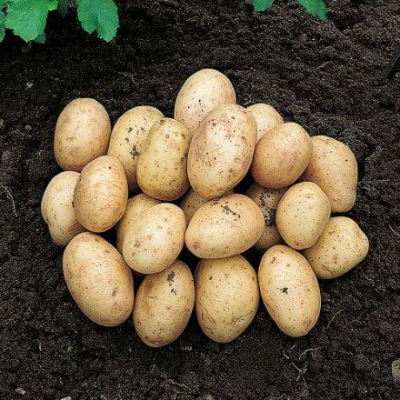 sjemenski-krumpir