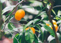 voćne sadnice