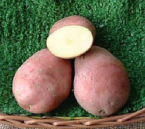 sjemenski krumpir CLEOPATRA rani crveni