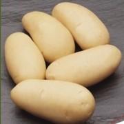 sjemenski krumpir LISETA srednje rani bijeli