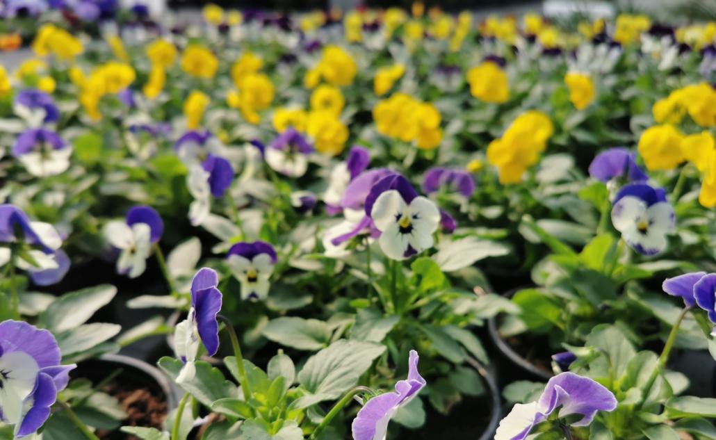 sadnice cvijeća