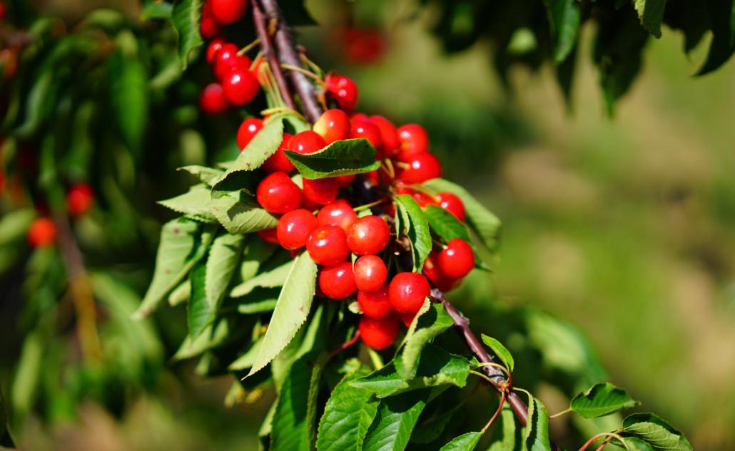 sadnice voća, loze i lozni cijepovi, bobičasto voće